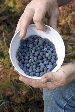 blueberries-picture_w483_h725.jpg